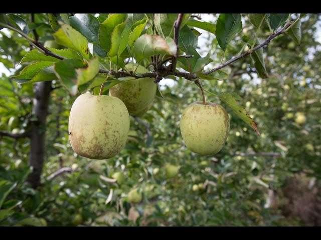 owoce pestkowe lista