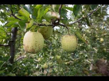 Jak zapobiegać ordzawieniom jabłek cz. 1 / 4