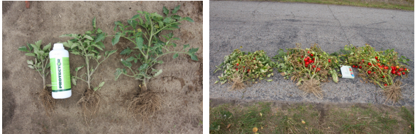 hodowla pomidorów pod folią