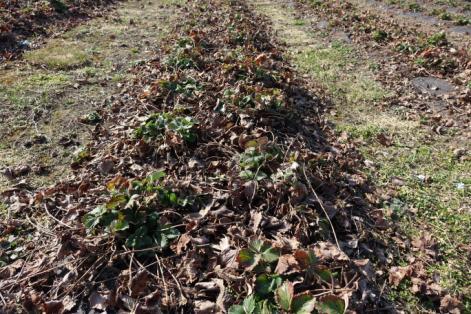 niszczenie chwastów w truskawkach