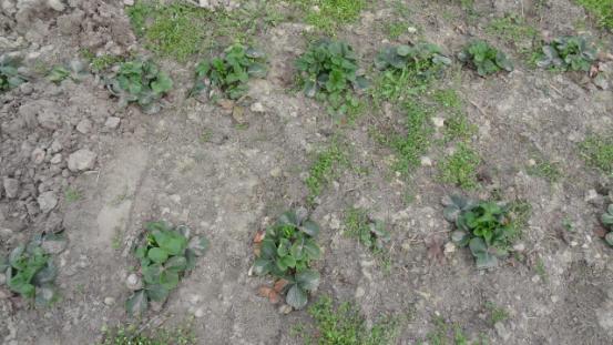 nowe odmiany truskawek deserowych
