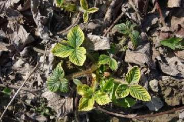 odmiana truskawek malwina