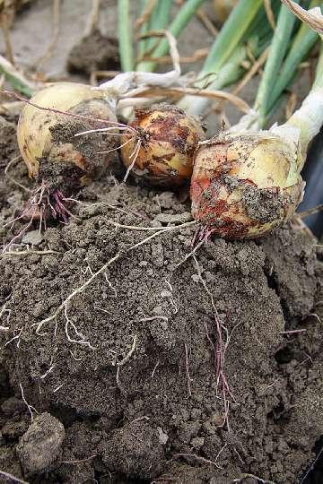Zapobieganie rózowatości korzeni cebuli