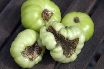 jak pielęgnować pomidory w gruncie