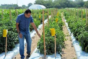 Ochrona pomidora gruntowego.