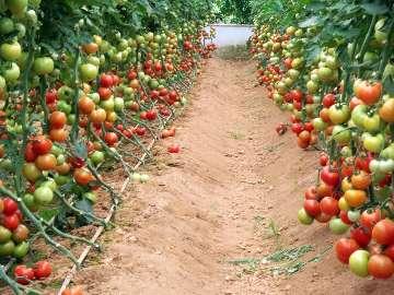 Stymulacja wzrostu pomidora gruntowego.