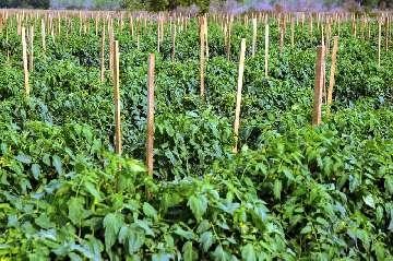 kiedy sadzić nasiona pomidorów