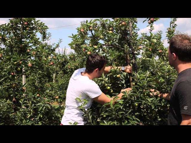 ordzawienie jabłek