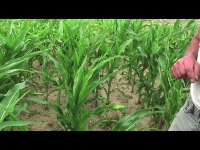 aktualna cena kukurydzy