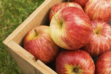 Przechowywanie jabłek w zimie.