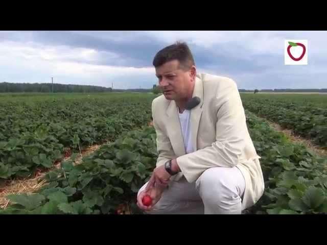 szkółka sadzonek truskawek