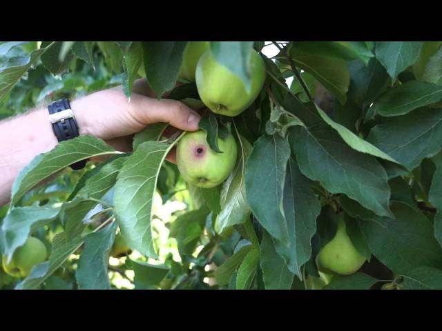 podkładki do szczepienia jabłoni