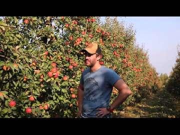 siew jabłek