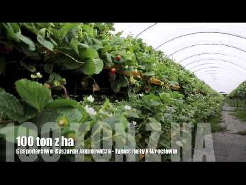 truskawki 100 ton