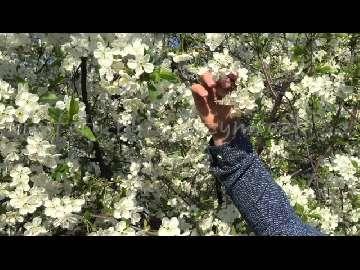 Wiśnia kwitnienie.
