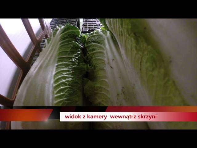 hodowla sałaty