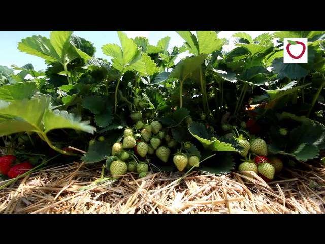 zwijanie się liści wierzchołkowych pomidora