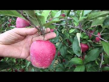 chwasty jabłek