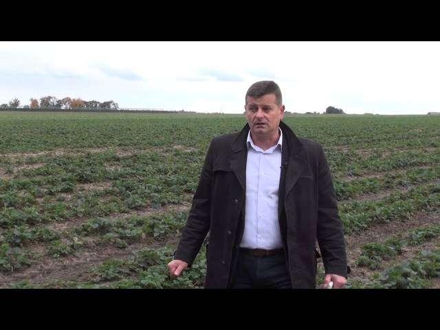 uprawa truskawek na włókninie