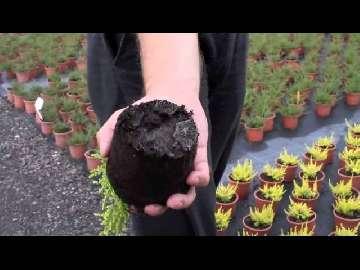 Wrzośce.Fytoftoroza. Ochrona roślin ozdobnych. Polyversum.