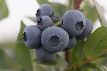 jagody borówki