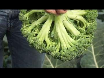 późne brokuła