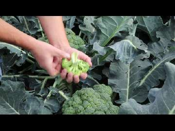 przekwitnięty brokuł
