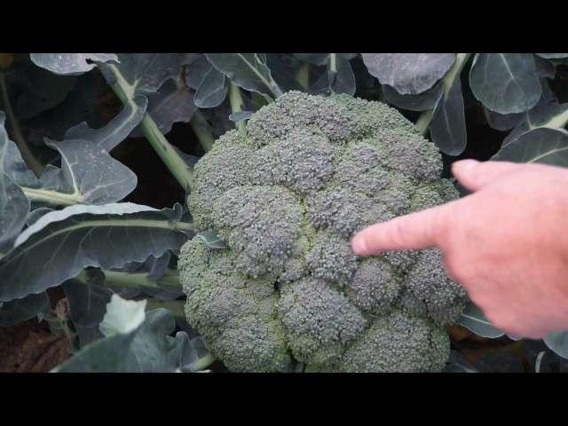 rozsada brokuł
