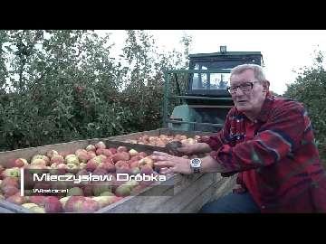 uprawy jabłek
