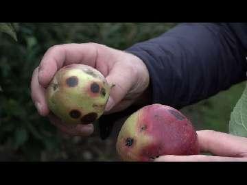 wczesne jabłek