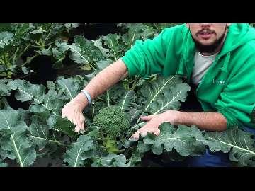 sadzenie bokułów
