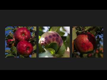 Chlorek wapnia a zawartość wapnia w owocach