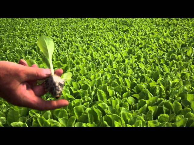 środki na szarą pleśń w truskawkach