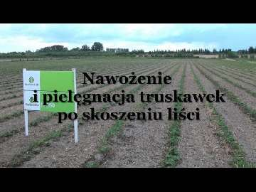 Nawożenie i pielęgnacja truskawek po skoszeniu liści