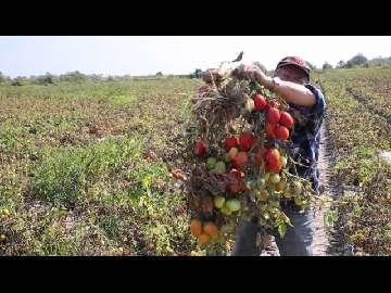 ceny pomidora