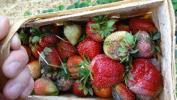 KOMUNIKAT nr XIII - Skórzasta zgnilizna owoców truskawki.