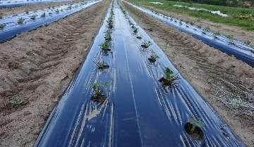 KOMUNIKAT nr XVI - Zahamowanie wzrostu i rozwoju roślin w wyniku niesprzyjających warunków pogodowych lub błędów w agrotechnice.