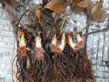 KOMUNIKAT nr III - Uszkodzenia mrozowe roślin.