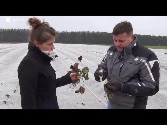 Jak rozpoznać uszkodzenia mrozowe w truskawkach