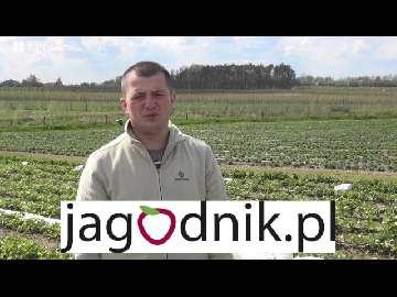 Demo Farma Truskawkowa, obserwacje, doświadczenia, testy, na plantacji w sezonie 2016.