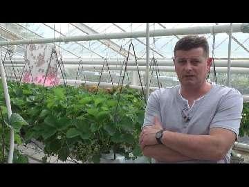 Fertygacja w uprawie truskawek. Stosowanie kwasów humusowych i aminokwasów