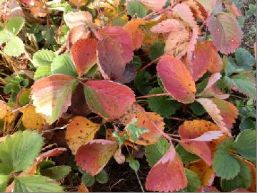 Komunikat XXV Zabiegi wzmacniające rośliny, i przygotowujące do spoczynku zimowego. Cz. I