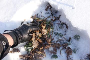 Komunikat nr 2. Stopień uszkodzeń mrozowych truskawki po zimie 2016/2017