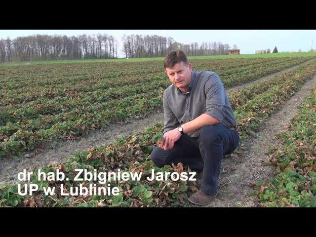 Nawożenie truskawek wiosną, termin stosowania nawozów azotowych.