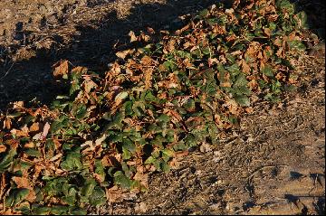 Komunikat nr 6. Informacja dotyczących  zabiegów zwalczających choroby na plantacji truskawek.