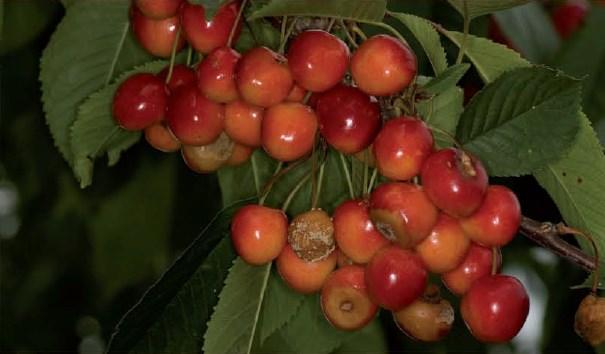 szkodniki na czereśni