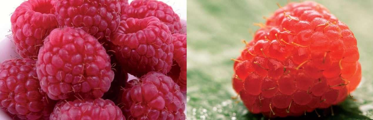 choroby malin jesiennych rdza