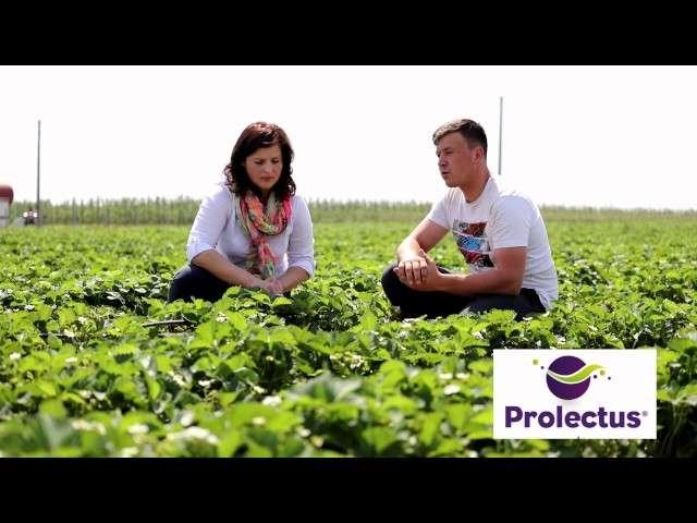 Skuteczne rozwiązanie do zwalczania szarej pleśni, Prolectus 50 WG. Informacje od partnera Grupy Truskawkowej firmy Nu Farm.
