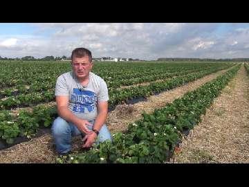 Poprawa jakości i trwałości owoców truskawek odmian powtarzających owocowanie .