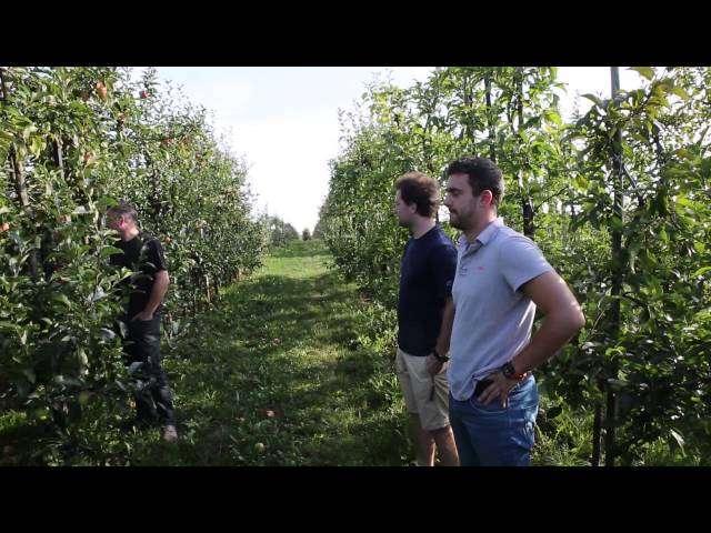 Celesta w połowie września.Wydłużenie zdolności zbiorczej jabłek.